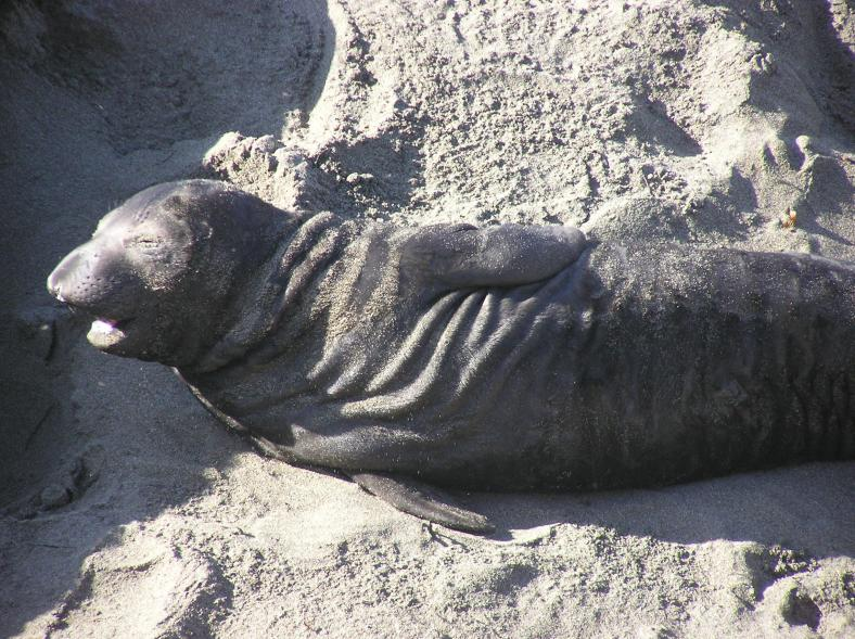 Northern Elephant Seal Births