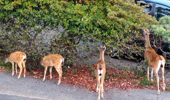 Deer feasting on neighbor's pyracantha