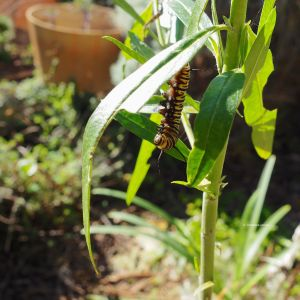 Last monarch caterpillar that beginning the chrysalis stage.