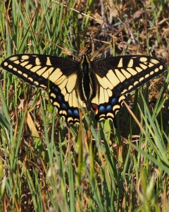 Swallowtail on the trail