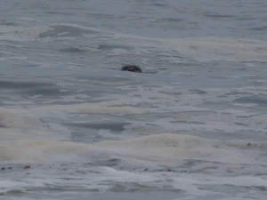 The seal that keeps popping its head over the waves. C. Coimbra photo