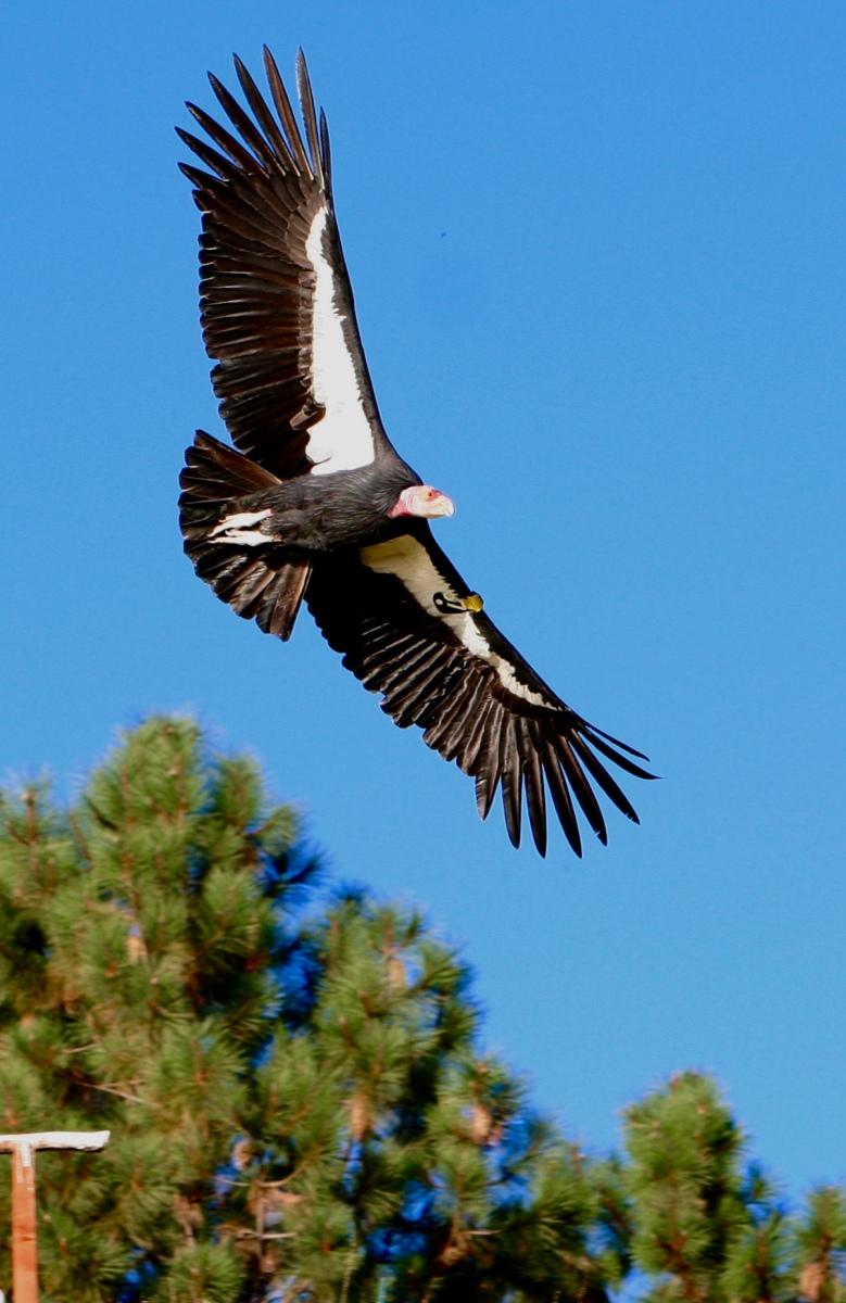 Condors over Cambria