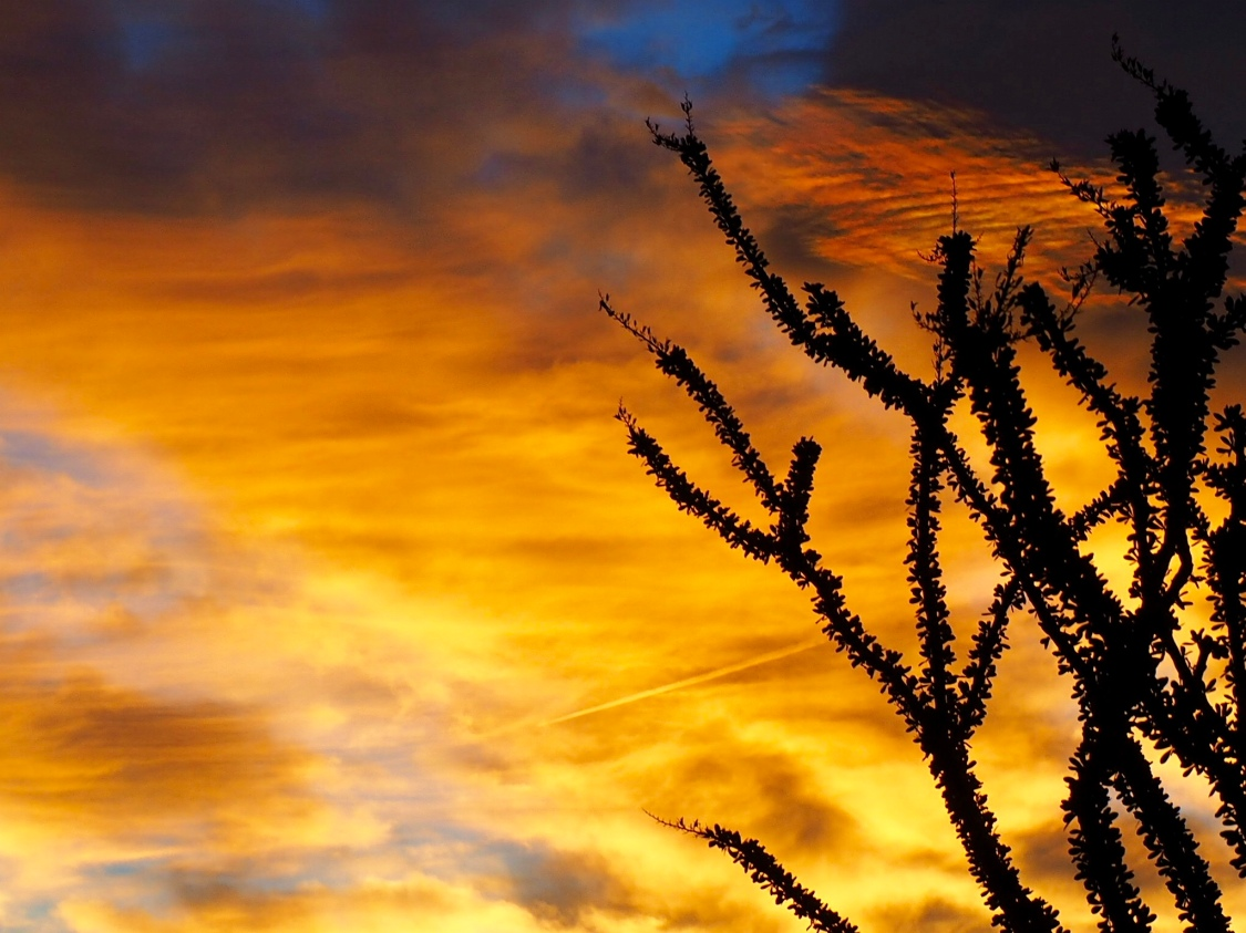 Ocotillo at Sunrise