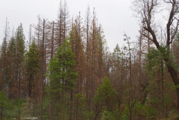 Yosemite's dead trees