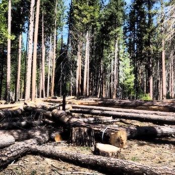 Seas of fallen logs